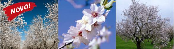 Amendoeiras em Flor 2019…paixão pela natureza!!