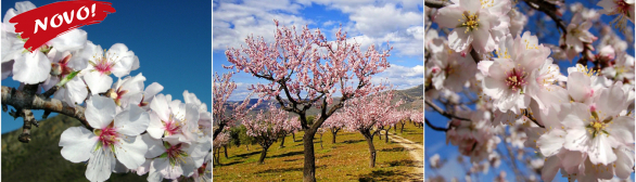 Amendoeiras em Flor 2018…paixão pela natureza!!