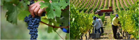Vindima nas Terras de Cabral…o segredo do Vinho Beirão